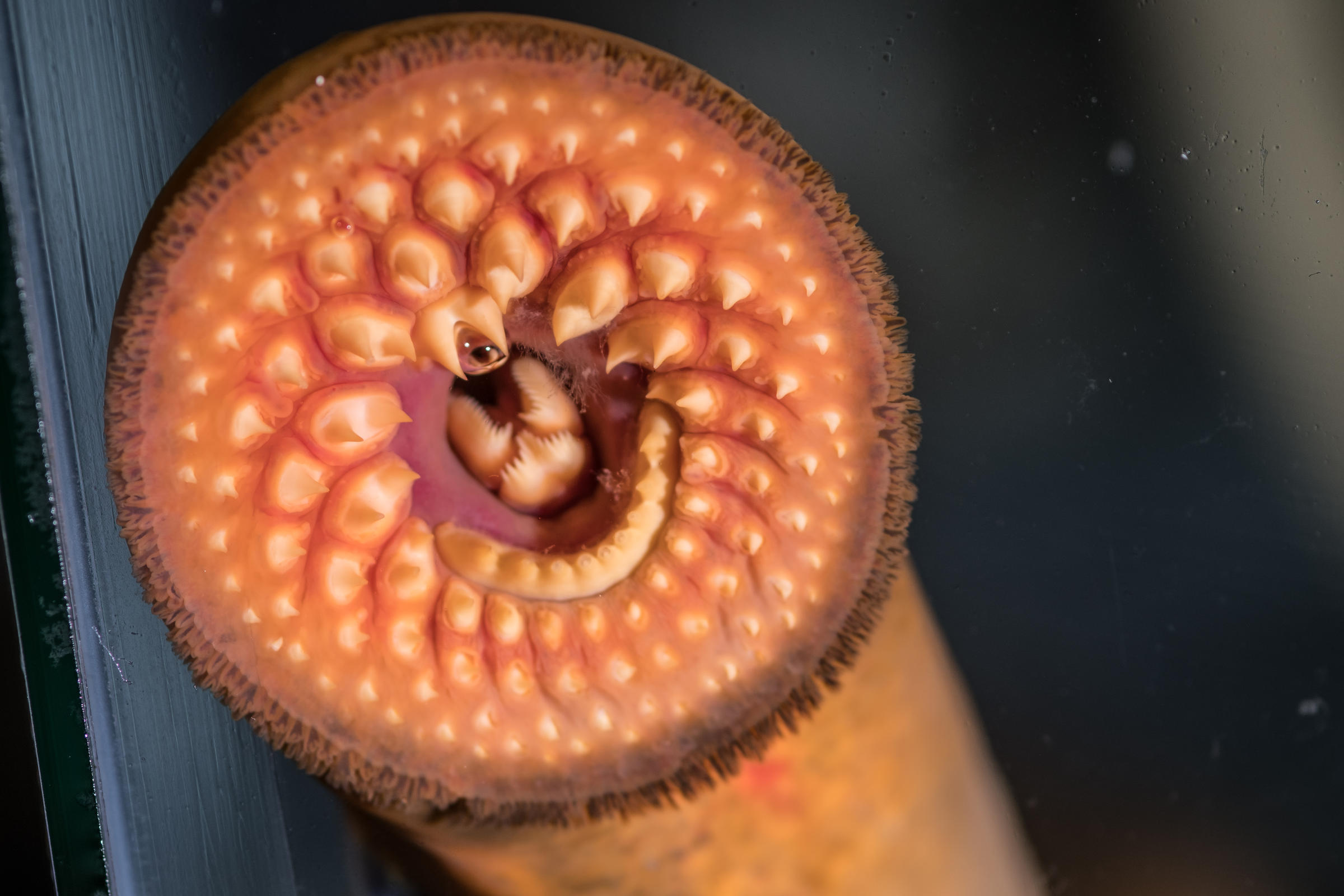 lamprey eel like fish
